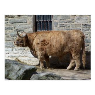 Retrato escocés del ganado de la montaña postal