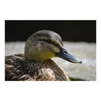 Retrato femenino del pato silvestre cojinete
