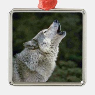 Retrato hermoso de la foto del lobo gris del adorno cuadrado plateado