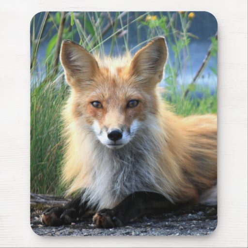 Retrato hermoso de la foto del zorro rojo, regalo alfombrilla de ratones