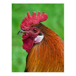Retrato hermoso del gallo tarjetas postales
