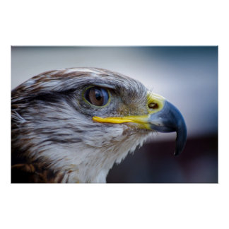 Retrato hermoso del halcón posters