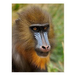 Retrato hermoso del mandrill tarjeta postal