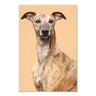 Retrato hermoso del perro de Whippet, foto, regalo