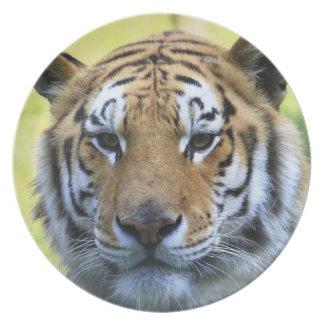 Retrato hermoso del tigre platos de comidas