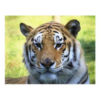 Retrato hermoso del tigre tarjetas postales