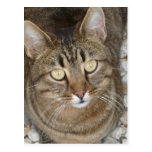 Retrato lindo del gato de Tabby