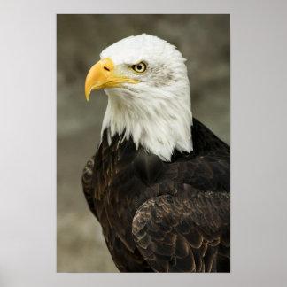 Retrato majestuoso del águila calva poster