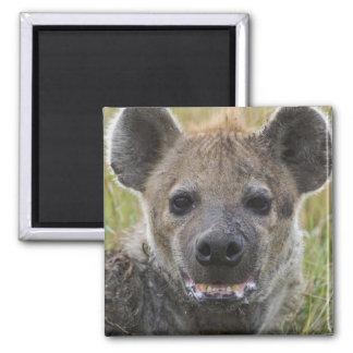 Retrato manchado del Hyena, croduta del Crocuta, M Imán Cuadrado