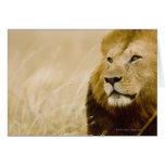 Retrato masculino del león (Panthera leo), Masai M Tarjetas