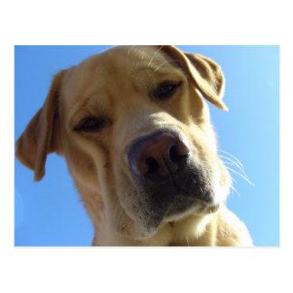 Retrato torpe de Labrador Tarjeta Postal