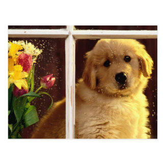 Retriever Puppy Looking Out the Window Postcard