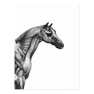 Retro horse muscle anatomy picture postcard
