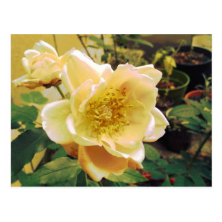 Retro Supersaturated Rose Photography Postcard