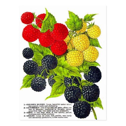 Retro Vintage Fruit Berries Blackberries Varieties Postcards