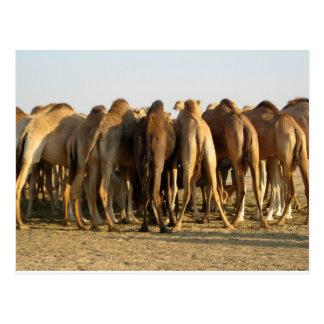 Reunión de los camellos postal
