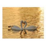 Reunión de los pares del cisne en la fotografía de tarjeta postal
