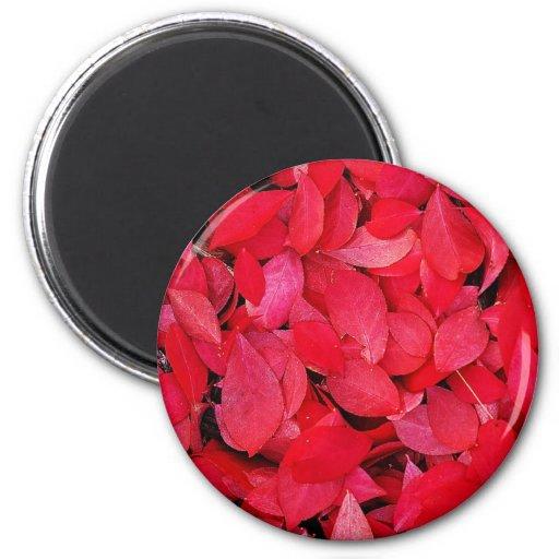 Rey color de rosa precioso de los pétalos rojos co imán redondo 5 cm