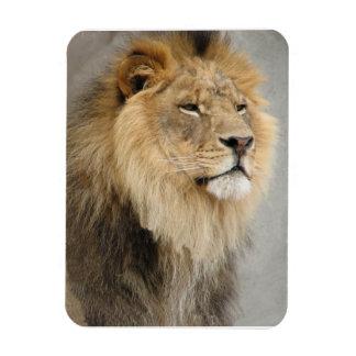 Rey de los amantes del león de la selva imán rectangular