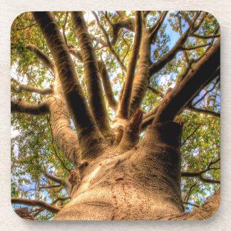 Rey Of Beech del árbol Posavasos De Bebidas