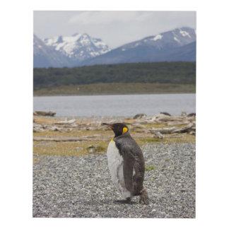 Rey pingüino, Isla Martillo, Tierra del Fuego Cuadro