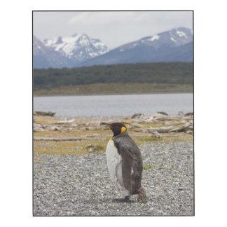 Rey pingüino, Isla Martillo, Tierra del Fuego Impresión En Madera