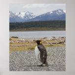 Rey pingüino, Isla Martillo, Tierra del Fuego Póster