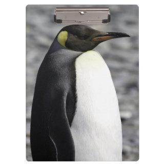 Rey pingüino, llano de Salisbury, Georgia del sur