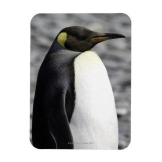 Rey pingüino, llano de Salisbury, Georgia del sur Imanes Rectangulares