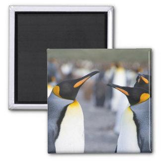 Rey pingüinos imán cuadrado