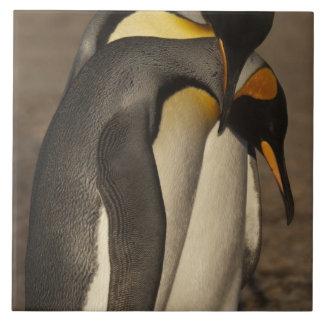 Rey pingüinos (patagonica del Aptenodytes P.) Tejas