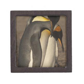 Rey pingüinos (patagonica del Aptenodytes P.) Cajas De Recuerdo De Calidad