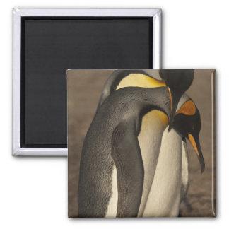 Rey pingüinos (patagonica del Aptenodytes P.) Iman De Nevera