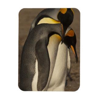Rey pingüinos (patagonica del Aptenodytes P.) Imán