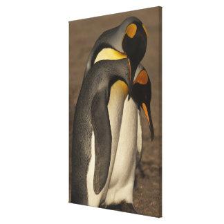 Rey pingüinos (patagonica del Aptenodytes P.) Impresión En Lona Estirada