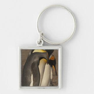 Rey pingüinos (patagonica del Aptenodytes P.) Llaveros