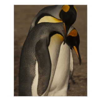 Rey pingüinos (patagonica del Aptenodytes P.) Posters