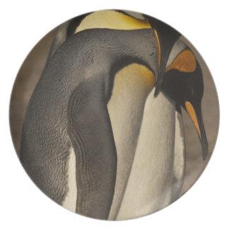 Rey pingüinos (patagonica del Aptenodytes P.) Plato De Comida