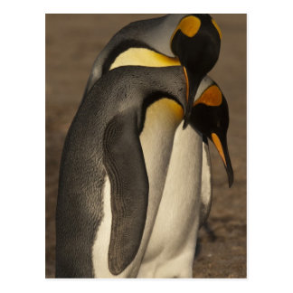 Rey pingüinos (patagonica del Aptenodytes P.) Postal