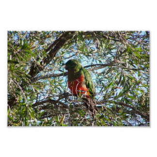 Rey verde elegante Parrot With Orange Chest Sittin Posters