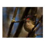 Reyezuelo coronado rubí 01 tarjeta postal