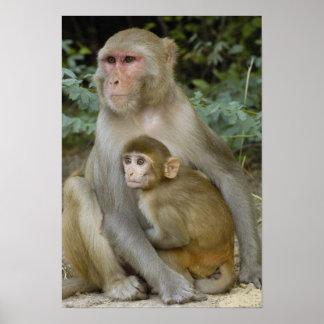 Rhesus Macaques Macaca mulatta) mother & baby Poster