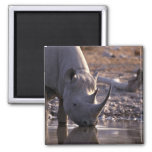 Rhino drinking at a watering place 2 inch square magnet