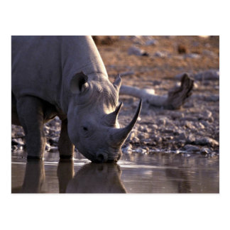 Rhino drinking at a watering place postcards