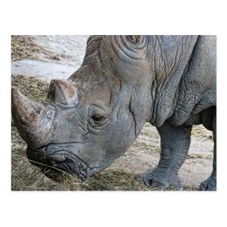Rhino Head Closeup Postcard