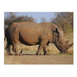 Rhino Post Card