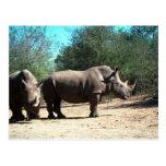 Rhinos blancos postales
