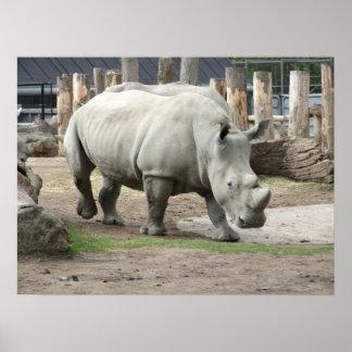 Rhinos blancos septentrionales en peligro póster