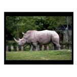 Rhinos blancos tarjetas postales