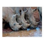 Rhinos drinking water Postcard